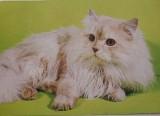 Perská kočka Kameo