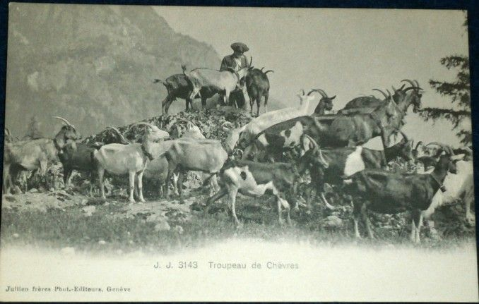 Alpy - stádo horských koz a pastevec