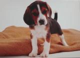 Beagle - štěně