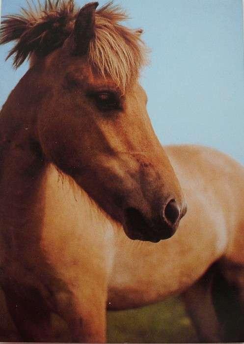 Fjordský kůň - foto E. Tylínek