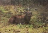 Říjící jelen evropský