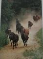 Stádo albertoveckého hřebčína se vrací z pastvin