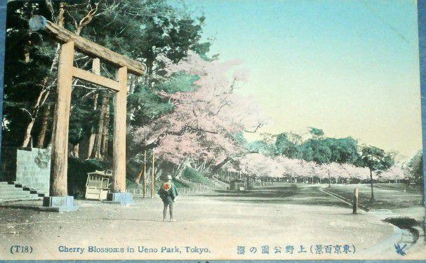 Japonsko Tokyo - Cherry Blossoms in Ueno Park